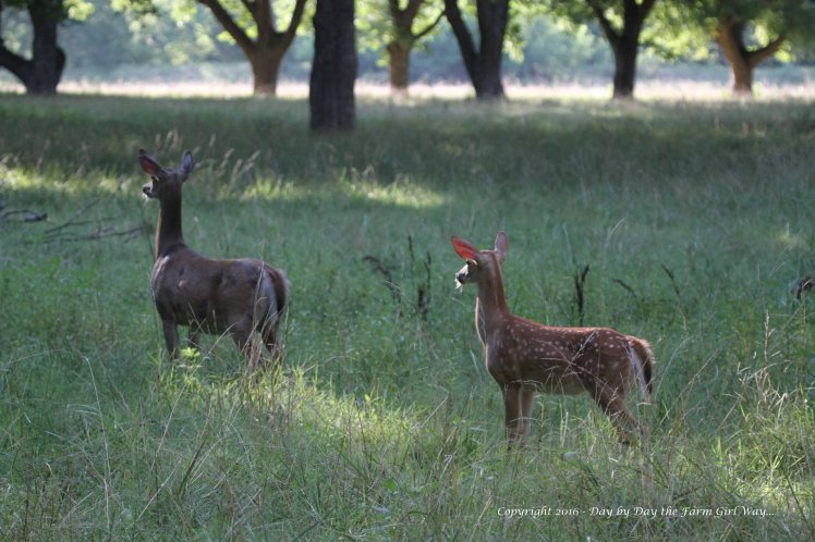 Daisy and her buck set out to the pecan orchard for the evening. The pecan orchard offers lots of edibles and browse for the deer.