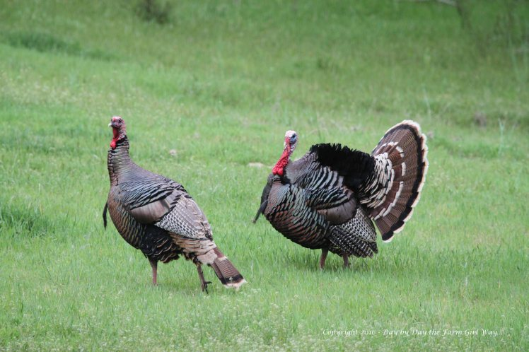 I am able to photograph all sorts of wildlife in the Pecan Orchard. Often in the spring and autumn we hear the calls of turkeys in the pecan orchard from our house.