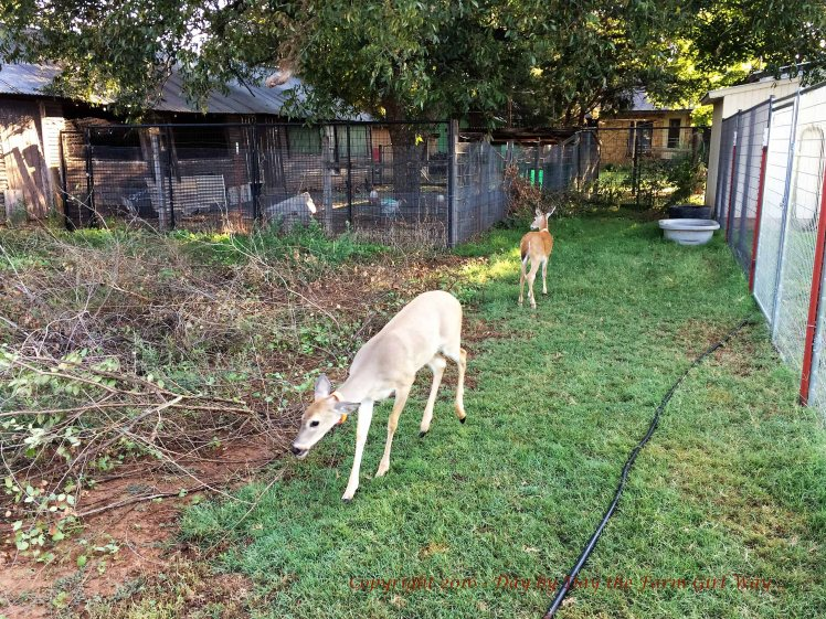 Emma and Ronnie roam around the pen eating deer plot greens, elm tree leaves, acorns scattered about, and sweet potato vine.