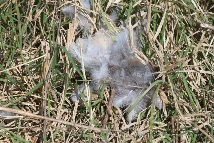 I saw many scatterings of dove feathers on my journey.