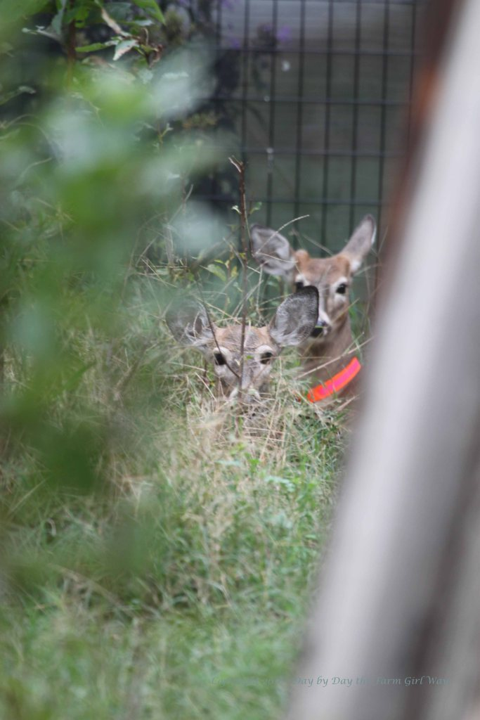 Emma and Ronnie hiding in tall grass and cherry laurel trees grown up in the deer pen.