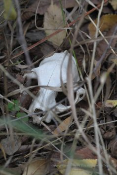 A feral cat skull found just a few feet from the buggy path I take into our woodlands each day. I wonder how many times I passed by it?