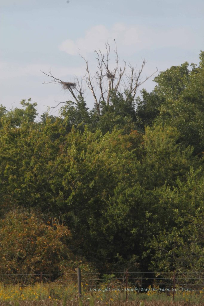 """Last summer I noticed blue herons flying over our property a lot, coming from the river area. I discovered these nests last fall as the leaves exposed them better. Here are the nests again this year. And the area they are in is at the toe of the """"boot"""" area of the river that I love to walk to. The toe area is a bit more shallow in places - a perfect fishing spot for herons!"""