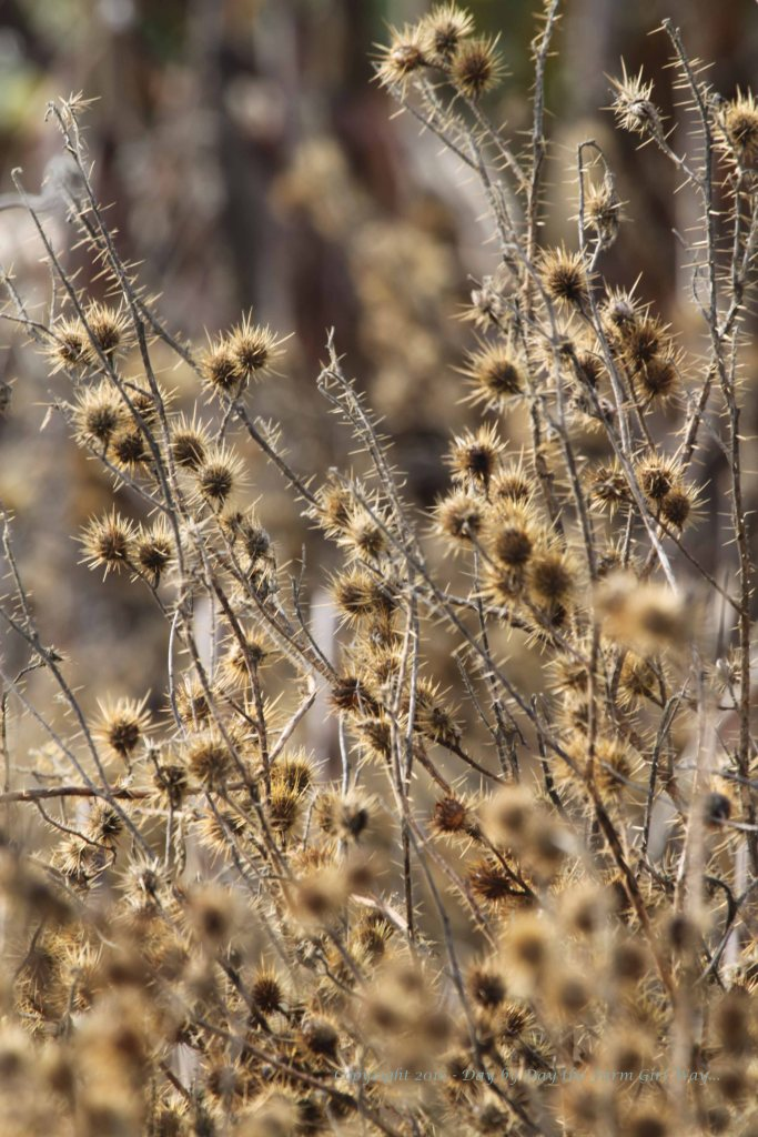 These horrible, evil plants thrive in the river bottom area. I avoid brushing up against a Buffalo Bur plant if I can help it. They are wickedly painful!