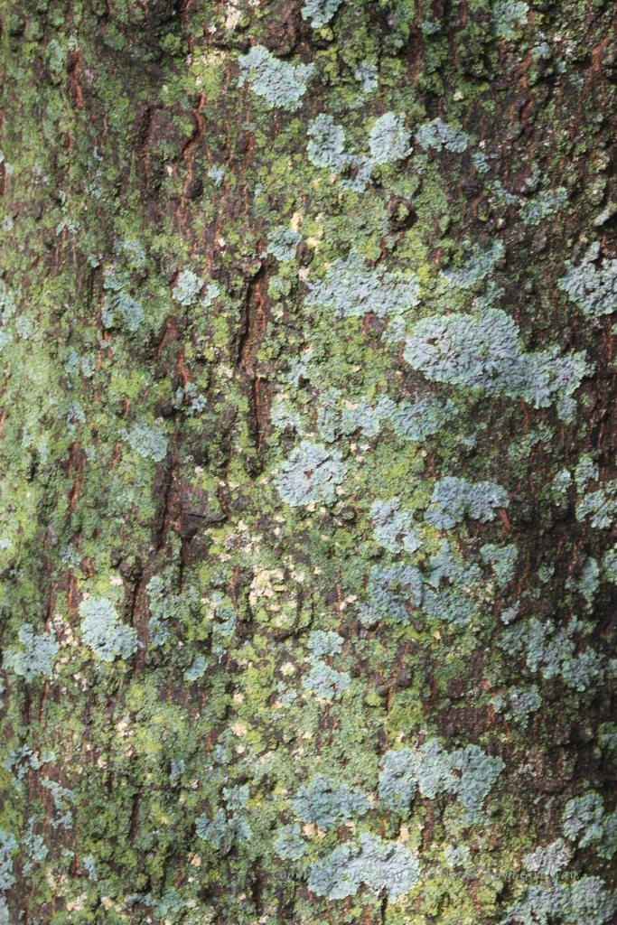 Lichen on a Hackberry tree after the rain