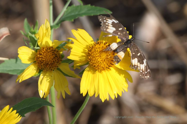 After much research, I believe this is a very tattered Bordered Patch butterfly. Camphor Weed is a common wildflower here in Oklahoma.
