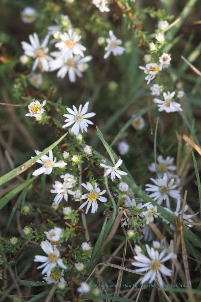 The Hairy White Oilfield Aster probably often goes unnoticed. I found this hidden in taller grasses.
