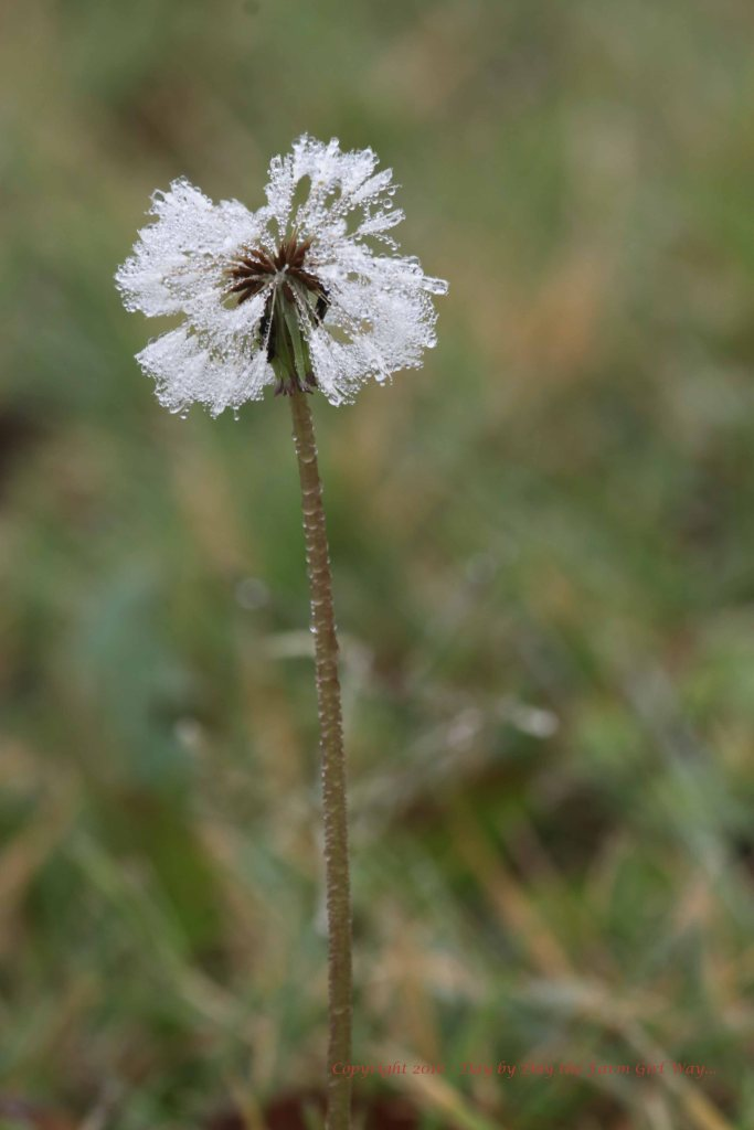 I love the feathery look of this dandelion cloaked in mist.