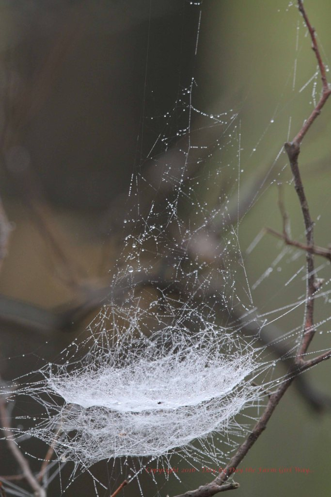 In Autumn these (what I call) basket webs can be found everywhere in the woodlands. The mist really shows off their workmanship!