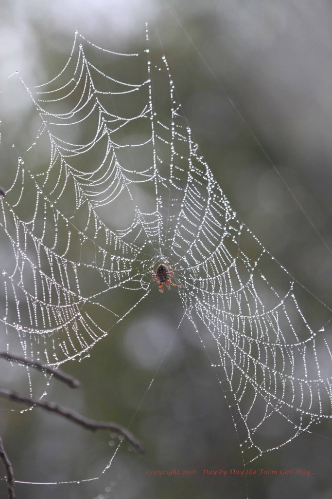 I was able to photograph this chandelier-looking web for the last week or so. Sadly, on Monday it was gone. The downpour of heavy rain on Sunday may have done it in.