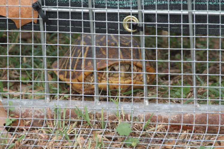 The resident deer pen turtle has moved in and out of the deer pen all summer... but the new fence apron had him trapped in! I put him in my mother-in-law's iris beds where he can find a nice spot to hunker down for the winter!