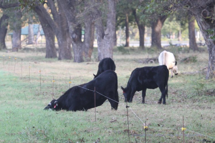 I saw this comical scene as I pulled up to cross the electric fence in the pecan orchard.