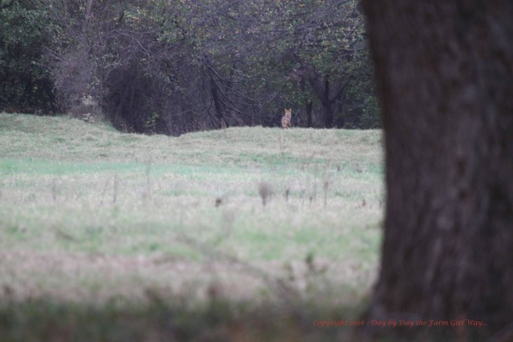 This is the male coyote I have photographed before. I'm just sure he's waiting for one of the pecan orchard cow's to calve so it can snag dinner.