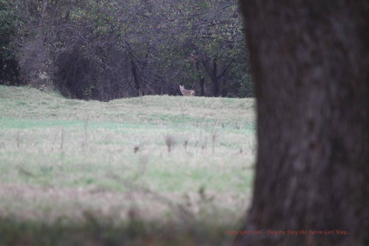 Coyote_7691