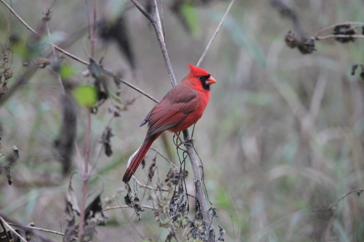 This Cardinal looked striking in the morning gloom.