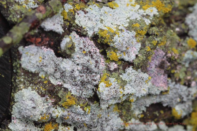 Rain and moisture brings out the real beauty of lichen on tree bark. This is hackberry tree bark.