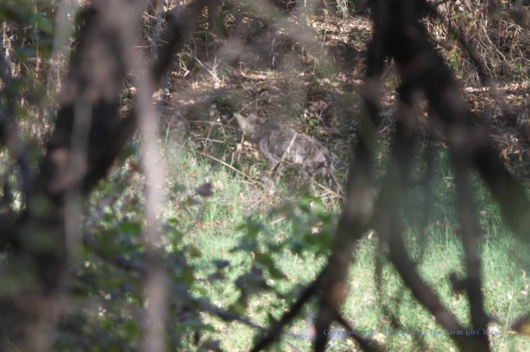 You can make out the form of the coyote in the center of the image. The entire hind quarters was red, raw and hairless from mange. The rest of the coyotes coat was bedraggled and thin.