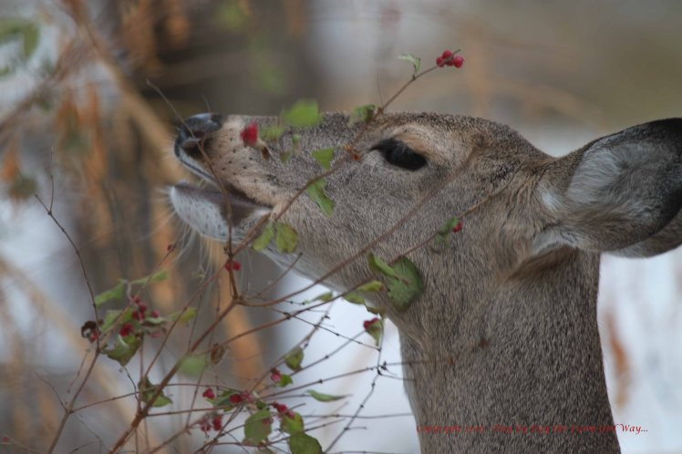 I learned a lot from following Daisy in the winter months. Deer nibble on all sorts of shrubs, thorny vine, and berries.