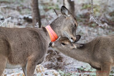 A tender moment of mutual grooming between Daisy and her fawn Spirit.