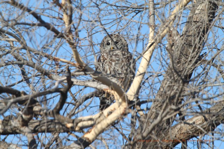I have seen this Barred Owl many times on my travels to the old river channel.