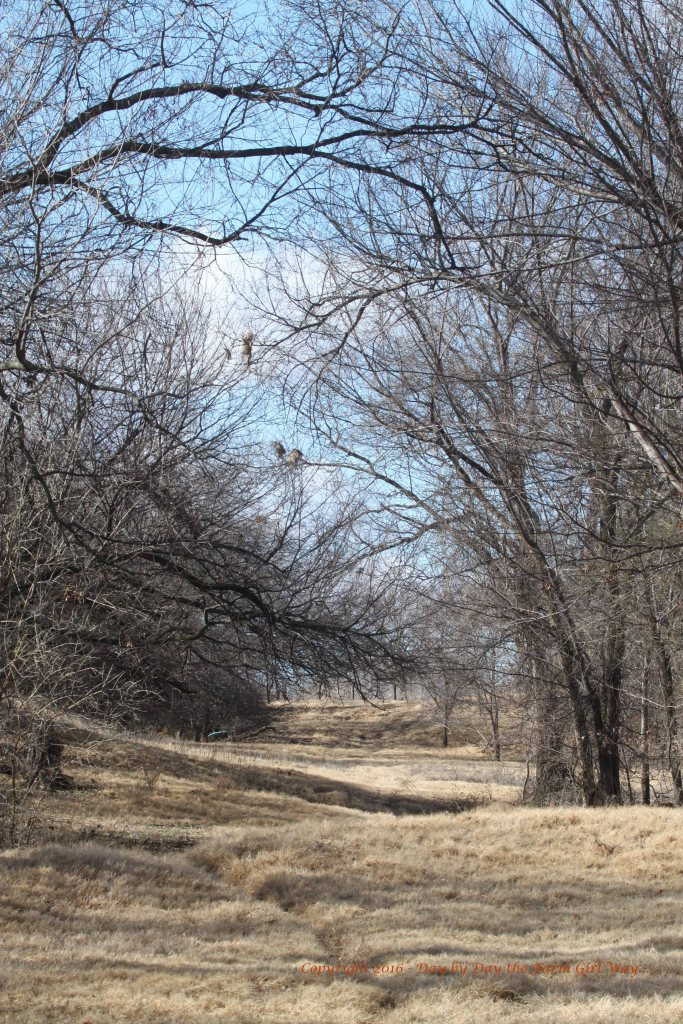 This is the area I cross the old river channel dike and head to the rise in the distance where an old elm tree offers lovely branches with leaf buds for Emma and Ronnie to nibble.