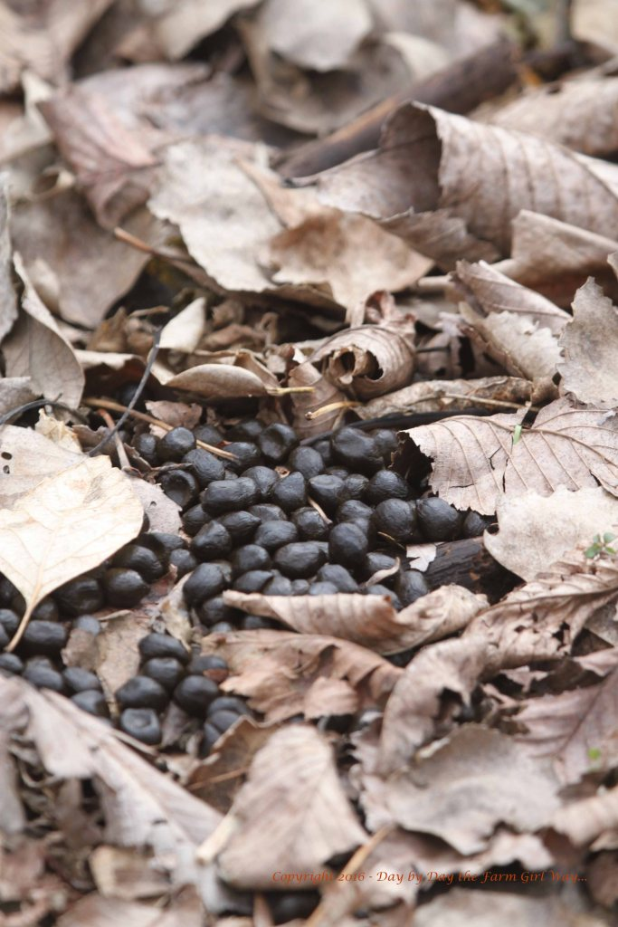 It's good to see deer scat in the woodlands again!