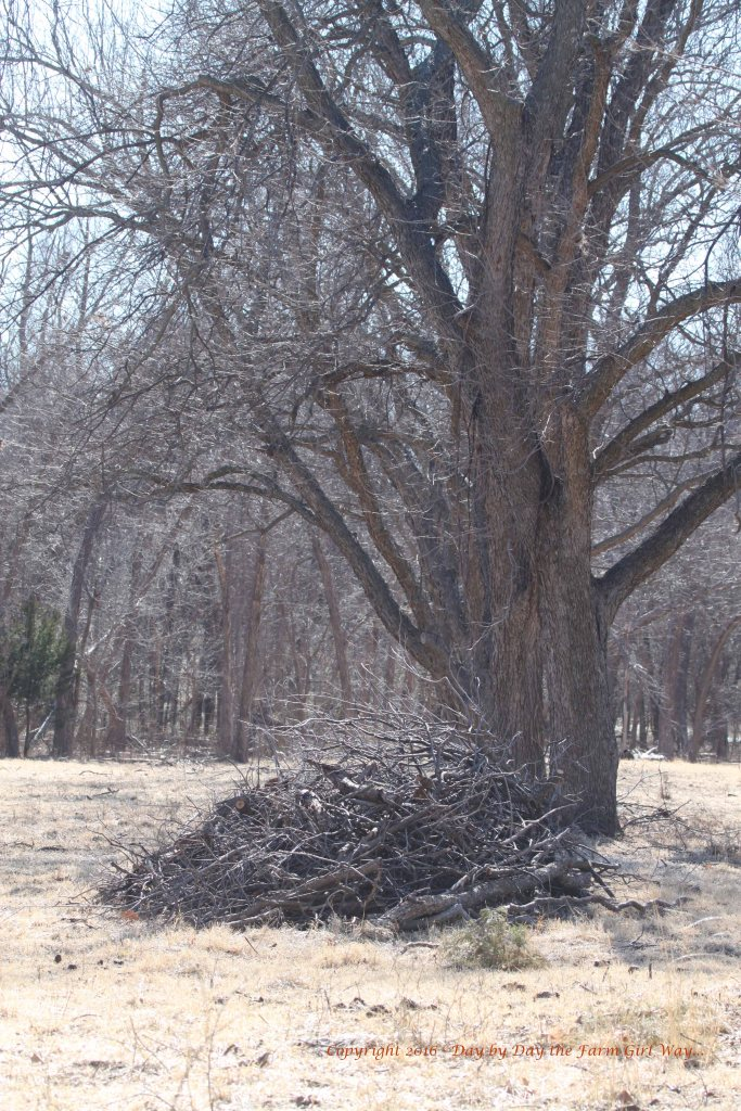 I will need to get this pile of pecan branches moved and burned. Some of these branches could be diseased so they're best burned. This pile will attract snakes in the warm weather if it remains where it is.