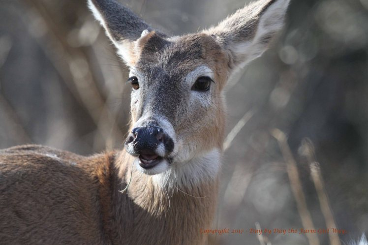 """Ronnie detects Emma's scent to know if she is in estrus. The """"lip curl"""" helps the buck expose the vomeronasal organ in the roof of his mouth. Air is sucked across the organ, which is so sensitive that it can pick up individual molecules of scent. This helps the buck analyze the scent for clues about the doe's estrus stage."""