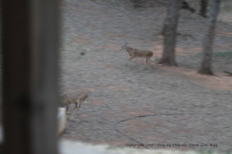 Emma running from the buck while Ronnie gets caught in the fray (near the water tub).