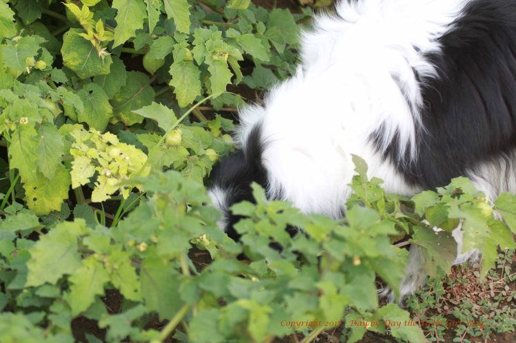 A forager at heart, Bear could often be found with nose to the ground!