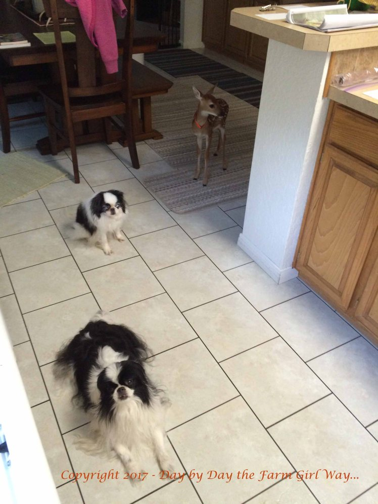 Bear laid in this spot in the kitchen to beg for scraps while I cooked. Zoe stepped in for backup spoils. And Emma just wanted to see what all of the excitement was about!