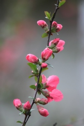 Quince in Spring