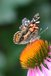 Painted Lady on Coneflower